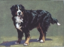 Bernese Mountain Dog • SOLD